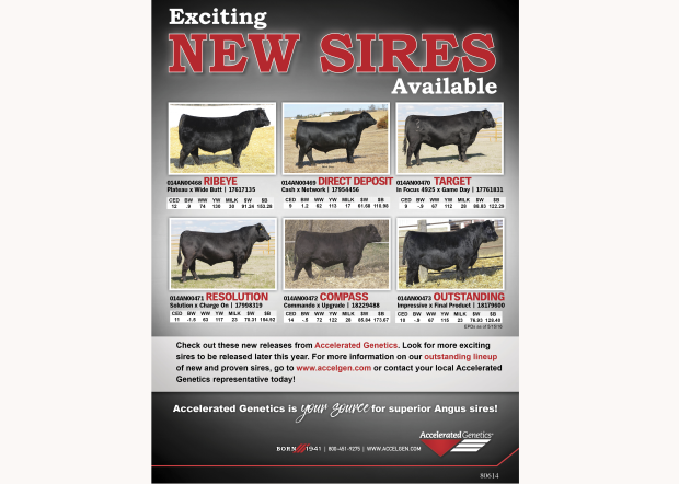 Exciting New Angus Sires