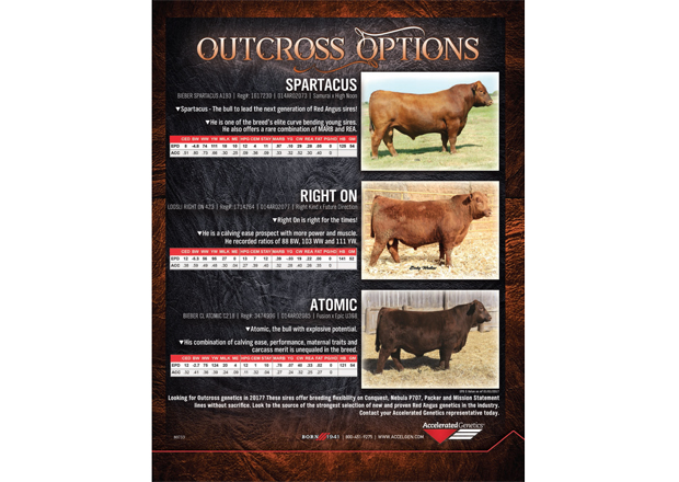 Outcross Options Red Angus